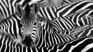 zebra-stripes